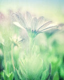 Soft focus of daisy field Royalty Free Stock Images