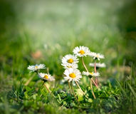 Soft focus on daisy Royalty Free Stock Photos