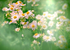 Soft focus on daisy flower Royalty Free Stock Photos