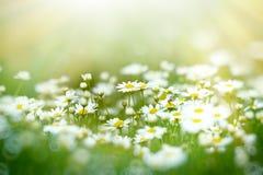 Soft focus on daisy flower Stock Image