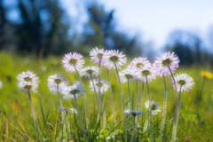 Soft focus daisy flowers background Royalty Free Stock Image
