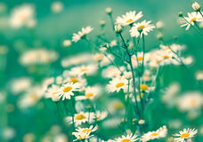 Soft focus on daisy flowers Stock Images