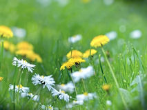 Soft focus on dandelion and daisy Stock Image