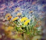Soft focus on dandelion flowers Stock Photography