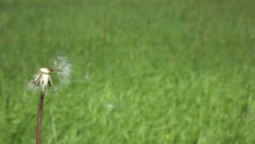 Soft focus,Dandelion seeds are being blown and flying away on a green background.  stock video
