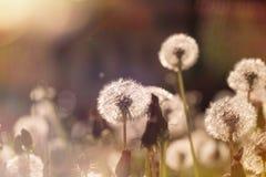 Soft focus on dandelion seeds Stock Photography