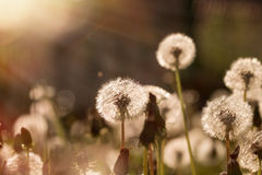 Soft focus on dandelion seeds lit by sunbeams Stock Photography