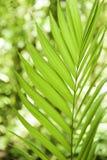 *Soft Focus* delle foglie di palma Fotografie Stock Libere da Diritti