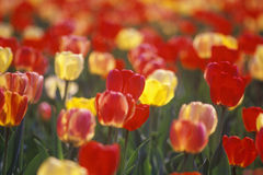 Soft focus detail of Tulips in Spring, Washington, DC Royalty Free Stock Image