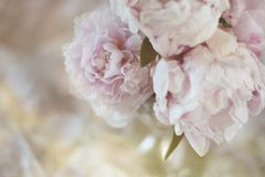 Soft focus pink peonies stock images
