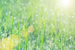 Soft focus of drops of dew on green grass in morning with sunlig Stock Photos