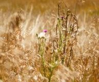 Soft Focus Effect of Purple Weeds Royalty Free Stock Photo