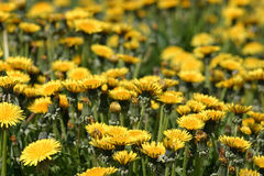 Soft focus on field of bright yellow dandelions Royalty Free Stock Images