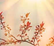 Soft focus on flowering branch of fruit tree Royalty Free Stock Photo