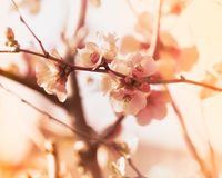 Soft focus on flowering branch Royalty Free Stock Image