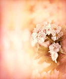 Soft focus on flowering branch Stock Photography