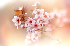 Soft focus on flowering branch of tree Stock Images