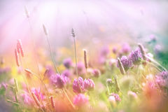 Soft focus on flowering clover, clover lit by sun rays Royalty Free Stock Image