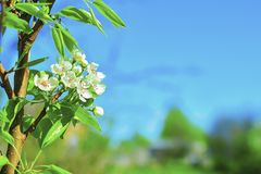 Soft focus. Flowering pear against the blue sky. Pear. Flowering pears on a blue sky. Background with a spring background. copy. Space stock photography
