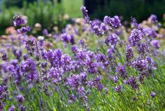 Beautiful lavender flowers, close-up royalty free stock photo