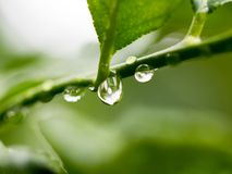 Soft focus fresh leaf with rain drop falling. Soft focus fresh leaf with rain drop falling in natural background royalty free stock photo
