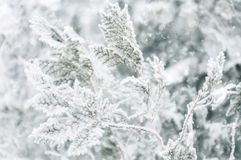 Covered in a Winter Coat. Soft focus of a frost covered tree branch covered hoarfrost over a snowy bokeh background in shallow depth of field. Winter festive Stock Photos