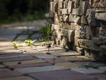 Soft focus of the garden path of rectangular stones of yellow, red and gray colors. Between the stones grows bright green moss. On royalty free stock image