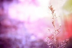 Soft focus  grass flower with drops dew  pastel color filter eff Stock Photography