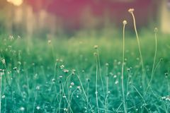 Soft focus Grass Flower  pastel color  filter effect. Spring ,nature wallpaper  background royalty free stock images