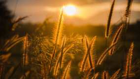Soft focus of grass and golden light at dusk. Soft focus of grass and golden light royalty free stock images