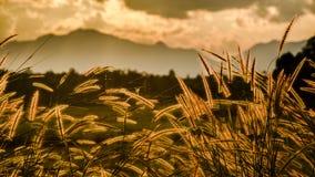 Soft focus of grass and golden light at dusk. Soft focus of grass and golden light Stock Photography