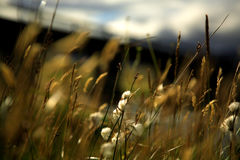 Soft focus grasses. In Iceland Royalty Free Stock Photo