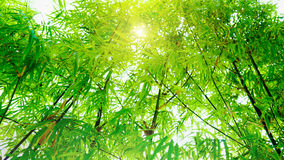 Soft focus in green bamboo leaves with sunlight effect background . Royalty Free Stock Photography