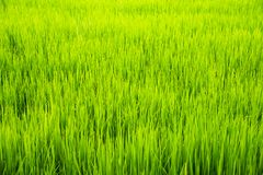 Soft focus of green rice leaf in paddy field.Thailand. Royalty Free Stock Image