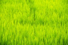 Soft focus of green rice leaf in paddy field.Thailand. Stock Image