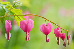 Soft focus of heart-shaped Bleeding heart flower in pink and whi Stock Images