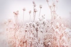 Soft focus on hoarfrost on thistle - burdock, morning fog and frost in the meadow. Morning fog and frost in the meadow - hoarfrost on thistle, soft focus on Royalty Free Stock Photography