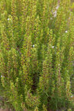 Soft focus of home grown Winter savory herb with some white flow Stock Photo