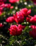 Pink peonies in the garden Stock Image