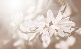 Blooming magnolia tree Royalty Free Stock Photos