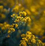Small yellow flowers of aurinia saxatilis in the spring time Stock Image