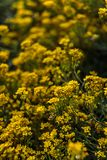 Small yellow flowers of aurinia saxatilis in the spring time Royalty Free Stock Photo
