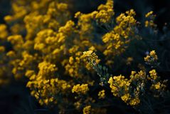 Small yellow flowers of aurinia saxatilis in the spring time Stock Photo