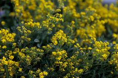 Small yellow flowers of aurinia saxatilis in the spring time Stock Photos