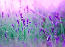 Soft focus on lavander Royalty Free Stock Images