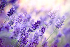Soft focus on lavende flower Stock Images