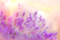 Soft focus on lavender Stock Image