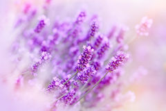 Soft focus on lavender due to the use of color filters. Beautiful lavender - soft focus on lavender due to the use of color filters stock photo