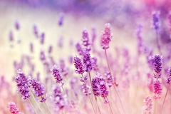 Soft focus on lavender due to the use of color filters. Beautiful lavender - soft focus on lavender due to the use of color filters royalty free stock image