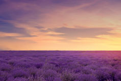 Soft focus of lavender field at the colorful sunset in a warm summer day. Beautiful landscape of lavender field. Toned image.  royalty free stock photography